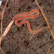 Lumbriculus variegatus - Ver fragile