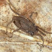Trogulus tricarinatus