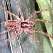 Allagelena gracilens - Araignée gracieuse (femelle)
