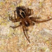 Amaurobius groupe similis_fenestralis (mâle)