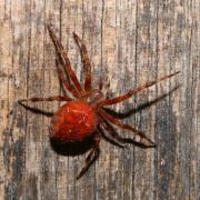 Araneus diadematus - Epeire diadème