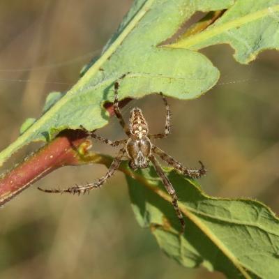 Araneus diadematus Clerck, 1758 - Epeire diadème (mâle)