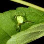 Araniella cucurbitina - Epeire-courge