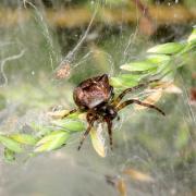 Gibbaranea bituberculata - Epeire dromadaire