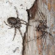 Larinioides sclopetarius - Epeire des ponts