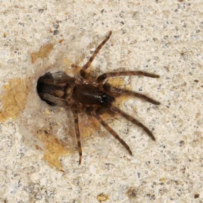 Segestriidae