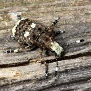 Platystomos albinus - Platystome à rostre blanc