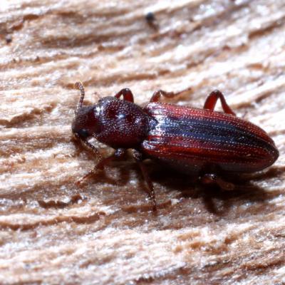 Bothrideridae