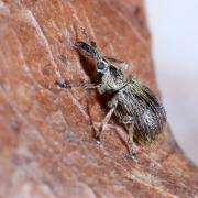 Trichopterapion holosericeum