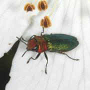 Anthaxia nitidula - L' Anthaxie brillante (femelle)