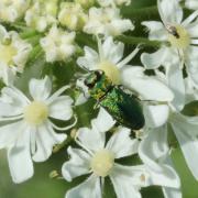 Anthaxia nitidula - L'Anthaxie brillante (mâle)