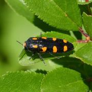Ptosima undecimmaculata - La Ptosime à taches jaunes