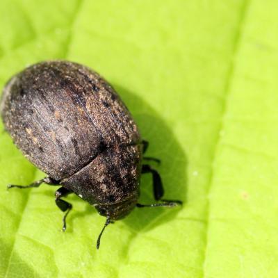 Byrrhidae