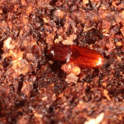 Cerylonidae