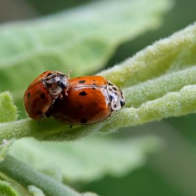 Adalia decempunctata (Linnaeus, 1758) - Coccinelle à 10 points (accouplement)