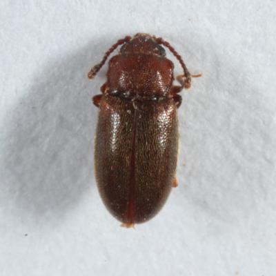 Cryptophagidae