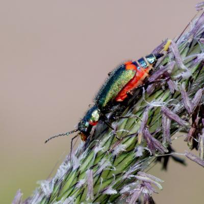 Malachiidae