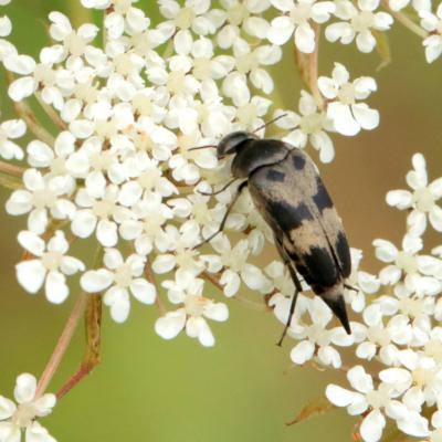 Variimorda villosa - Mordelle veloutée à pointe