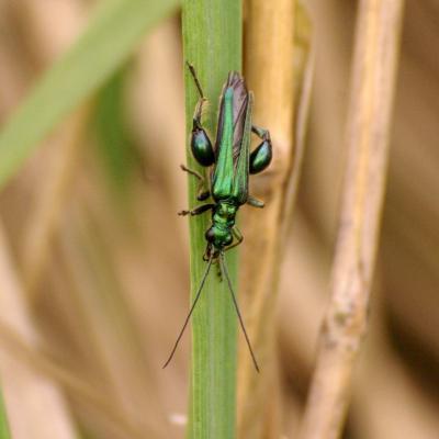 Oedemeridae