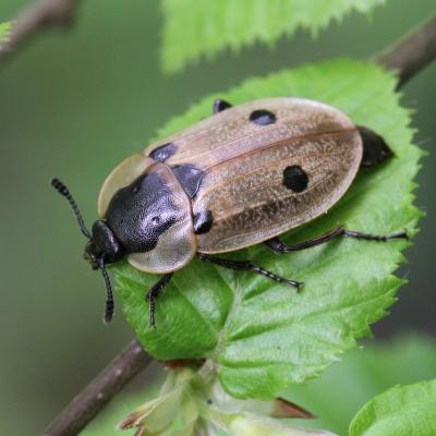 Silphidae