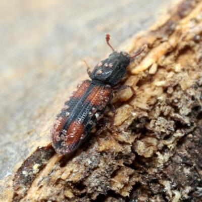 Zopheridae