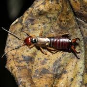 Forficula auricularia (mâle)