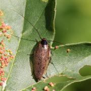 Ectobius lapponicus - Blatte du Nord