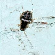 Ectobius vinzi (larve)