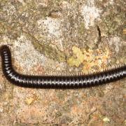 Tachypodoiulus niger - Iule noir