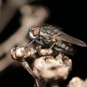 Leucophora sp (mâle)