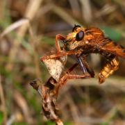 Asilus crabroniformis - Asile frelon (mâle)