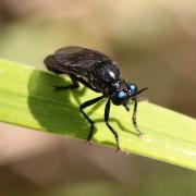 Dioctria atricapilla (mâle)