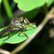 Neoitamus sp (mâle)