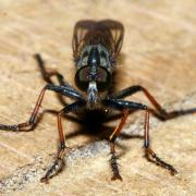 Neomochtherus geniculatus (femelle)