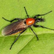 Bibio hortulanus - Bibio horticole (femelle)