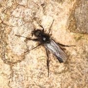 Bibio hortulanus - Bibio horticole (mâle)