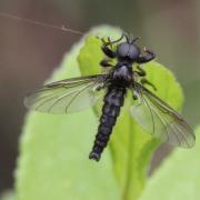 Bibio lanigerus (mâle)