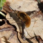 Bombylius major - Le Grand Bombyle