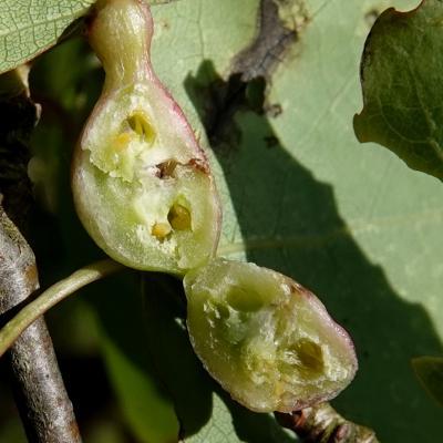 Contarinia petioli - Galle du pétiole du Peuplier