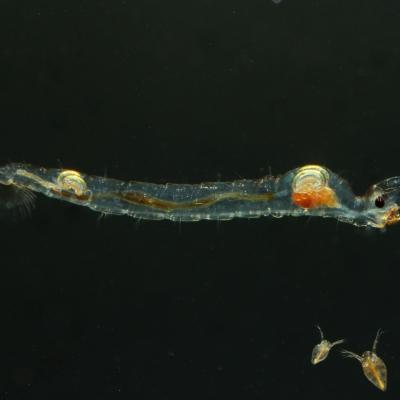 Chaoboridae