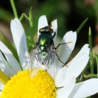 Neomyia cornicina (Fabricius, 1781) (femelle)