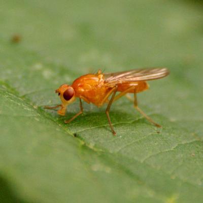 Psilidae