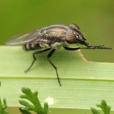 Rhiniidae