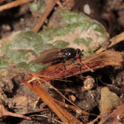 Sphaeroceridae