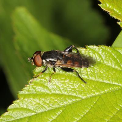 Tropidia scita (femelle)