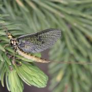 Ephemera vulgata - Mouche de Mai
