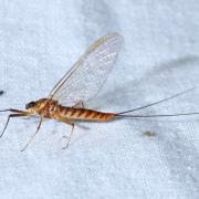 Ecdyonurus sp