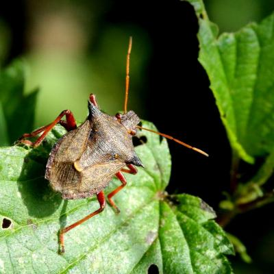 Picromerus bidens (Linnaeus, 1758) - Punaise épineuse