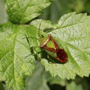 Acanthosoma haemorrhoidale - La Punaise de l'Aubépine