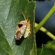 Elasmucha grisea - La Punaise grise (femelle et sa ponte)